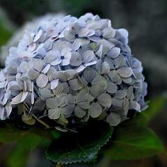 hortncia (Martha MGR) Tags: blue flower nature square mmgr marthamgr marthamgraymundo