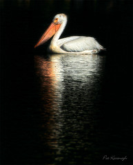 Light in the darkness (Pat Kavanagh) Tags: canada pelican alberta reflexions hdr lethbridge americanwhitepelican