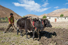 Dig Deep (vividcorvid) Tags: china people abstract man field animal rural work outside cow asia cattle outdoor farm labor places tibet plow horn domesticated