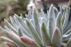Dudleya 'Anacapa' (Melissa-Gale) Tags: california pink blue white flower green silver photography succulent native nursery melissa gale mg foliage bloom gail liveforever wholesale gorman berard anacapa dudleya melissagale nativesons melissagalephotography mg00963