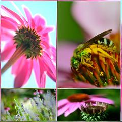 Bee Happy (Karen McQuilkin) Tags: summer macro nature nikon echinacea lavender bee coneflower pollen gardenisland uath beehappy karenandmc