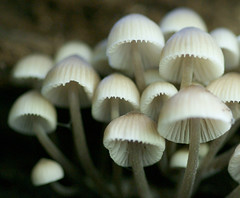 Mycena arcangeliana (eyelyft) Tags: ohio mushrooms fungi fungus mycology naturepreserves oldgrowthforests