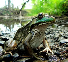 Green Frog - McHenry County, Illinois (Griffin Harris) Tags: county usa macro animal animals illinois midwest frog frogs amphibians rana herp greenfrog herps herpetology mchenry clamitans griffinh
