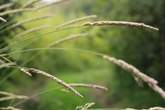 Summer breezes (fotovision47) Tags: friends green dof bokeh harmony grasses taupe img0878 artofimages photohobbylevel1 fotovision47