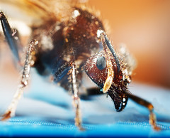 Extreme macro (Vineet Radhakrishnan) Tags: macro bug insect ant extreme bee reverse bellows extensiontube