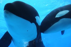KW Underwater Viewing (Seals4Reals) Tags: orlando underwater florida killer whale orca seaworld shamu viewing