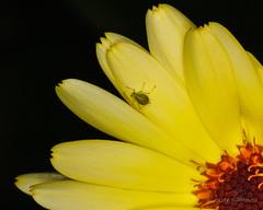 Plant lice - Bladlus (Yngvar) Tags: macro blitz blomster hage ringblitz