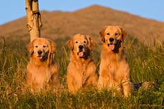 Watching the Sun Set (Tom_Morris Photos) Tags: sunset dog golden retriever flagstaff