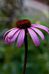 Echinacea 2 (LongInt57) Tags: pink flowers red canada flower macro green petals bc coneflowers purple blossom echinacea okanagan blossoms stamens pistil petal valley stamen bloom coneflower blooms stigma pistils stigmas echinaceas