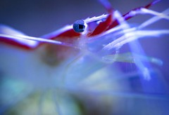 squareEyes (JKG II) Tags: ocean light sea orange fish nature water beauty animal aquarium cool warm darkness purple pacific awesome sting anemone tones available colony tentacles invertebrate organism