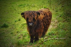 Bison (mheckerle) Tags: cow kuh khe 2016 natur farm nature animals landscape landschaft landwirtschaft rinder hessen hesse germany
