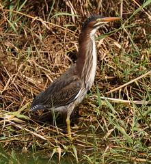 GrHer 2 (Robertmoose) Tags: heron green juvenile coquitlam bc