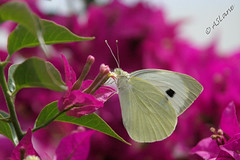 Large White (SLANEY58) Tags: butterflies gndogan insects largewhite turkey g gndoan tr