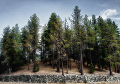 Stand (Russ Allison Loar) Tags: wood mountain tree nature wrightwood forest timber nationalforest deadtree treetrunk bark drought stonewall climatechange rockwall lumber globalwarming sangabrielmountains deforestation ghosttree clearcutting sanbernardinocounty treedisease southerncaliforniadrought