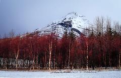 Birch trees, Eyjafjallajkull1 (Anthony Madison) Tags: iceland birch trees eyjafjallajkull volcano snow winter