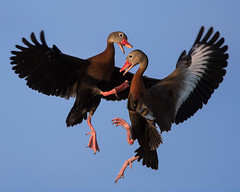 Nikon D500 - Black-Bellied Whistling Ducks (dojoklo) Tags: nikon focus florida tricks howto tips use setup guide manual af setting learn tutorial d500 bif recommend steveperry autofocus birdinflight viera quickstart blackbelliedwhistlingducks nikond500 ritchgrissonwetlands
