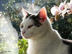 Jasmijn (Cajaflez) Tags: pink light portrait pet sunlight orchid flower window cat kat chat bokeh ear katze orchidee portret gatto huisdier raam zonlicht roze bloem oor jasmijn