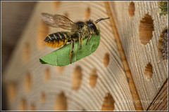 Patchwork Leafcutter Bee (Ed Phillips 01) Tags: megachile centuncularis patchwork leafcutter bee female beehotel bug insect macro mpe staffordshire explored