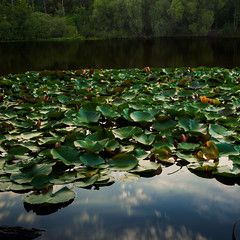 Evening mood with water lilies (Steppenwolf33) Tags: steppenwolf33 seerose waterlily see lake reflexionen reflections