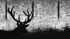 red deer in Bushy park (spencerrushton) Tags: wood red blackandwhite white black nature animal gardens canon garden outdoors daylight day availablelight walk 100mm spencer dslr reddeer rushton canonl canonlens primelens canon100mmf28lmacroisusm spencerrushton 760d canon760d efcanon100mmf28lmacroisusm