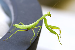 IMG_5492 (Roger Brown (General)) Tags: mantises order mantodea insects species fore legs enlarged gripping prey upright posture stationary arms folded praying mantis skiathos greek greece islands