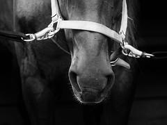 Dark Horse (Regular Expressions) Tags: horse horses animal animals equestrian lowkey blackandwhite monochrome closeup littledoglaughednoiret