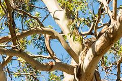 DSC_3797 (cosmin.dimitriu) Tags: australia 2015 december vacation victoria phillipisland koala