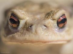 French frog (JohnB's photos) Tags: frog france macro close up wildlfie nikon nikon105mmmacro nikond610 nikondigital common toad