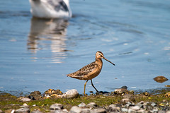 Short-billed Dowitcher (R Hardy) Tags: shortbilleddowitcher esquimaltlagoon colwood vancouverisland