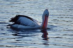 Caught nothing (Luke6876) Tags: australianpelican pelican bird animal wildlife australianwildlife water