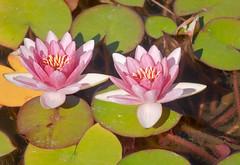 Tanner Springs Lotus Flowers Pond 2 of 3 (Orbmiser) Tags: 55200vr d90 nikon oregon portland summer lotusflower lilypads pond tannersprings