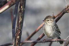Brewer's Sparrow (VancouverBirder) Tags: