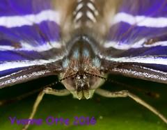 K46A8022-2 (Yvonne23021984) Tags: schmetterling butterfly hamm germany deutschland maxipark markro photography macrophotography canon canonphotography markofotografy canoneos7dmarkii insects insekten nature naturfotografie naturephotography closeup colorkey schmetterlinge butterflies