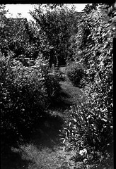 tilt try out 2 (salparadise666) Tags: busch pressman c 2x3 wollensak 101mm tilt f8 125 sec fomapan 100 sheet film caffenol rs nils volkmer germany garden experiment vintge camera analogue