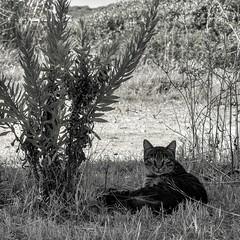 Il gatto non  altro che un leone in una giungla di piccoli cespugli. (giuseppemontalto) Tags: gatto biancoenero cats photography nikon animali fotografia campagna sguardo occhidelgatto picture blackandwhite