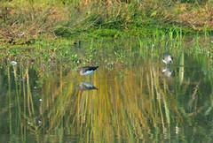 Green sandpiper at Brandon Marsh (robmcrorie) Tags: green sandpiper brandon marsh coventry warwickshire wildlife trust sssi nature reserve bird birding