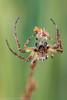 Larinioides cornutus - male (clanchief) Tags: furrowspider furroworbspider spider pedipalp silk orb web predator reeds larinioides araneidae araneae spinerette canonmpe65mm larinioidescornutus foliatespider