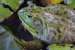 Frog (jbmino) Tags: food green lake water travel wild gross frog animal animals