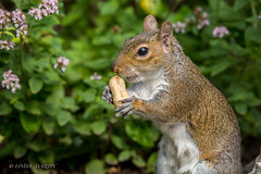 Squirrel (Sciurus carolinensis) (Linda Martin Photography) Tags: sciuruscarolinensis dorset backgarden wildlife squirrel nature animals canon5dmarklll uk coth coth5 ngc