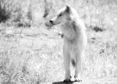 Phantom howls in the wind (Captions by Nica... (Fieger Photography)) Tags: artic articwolf wolf wolves monochrome blackandwhite black white wildlife nature outdoor animal high key whitewolf quebec canada montebello