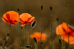 DSC09050 (christophe.perraud.44310) Tags: levdesoleil flore fleurs saintphilbertdegrandlieu loireatlantique wildlife