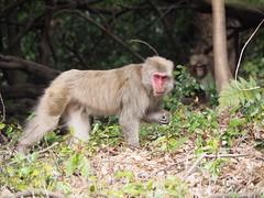 Japanese macaque, Macaca fuscata (M_Strasser) Tags: japanesemacaque macacafuscata olympus olympusomdem1 japan kyoto macaque