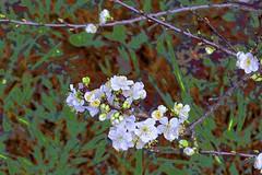 Plum Tree Blossom! (maginoz1) Tags: flowers blossom spring september 2016 bulla melbourne victoria australia canon g3x plumtree abstractart contemporary manipulation