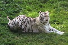 Zoo de Cerza (CyndiieDel) Tags: zoodecerza zoo cerca normandie clavados france animaux nature tigre tigreblanc