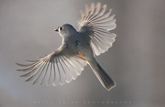 """Tufted Flight"" (KellyShipp) Tags: tuftedflight tufted titmouse baeolophusbicolor bird birds flight arkansas nature feathers nikon winter"