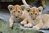 Two african lion cubs - Olmense Zoo (Mandenno photography) Tags: dierenpark dierentuin dieren animal animals african lion lions cub lioncub leeuwtje leeuw olmense olmensezoo olmen belgie belgium bigcat big cat balen