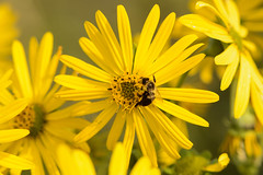 a lot of yellow (BobRobin) Tags: illinois rollinssavanna flower yellow