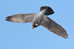 P. Falcon (bmse) Tags: mature peregrine falcon san pedro california canon 7d2 400mm f56 l bmse salah baazizi wingsinmotion