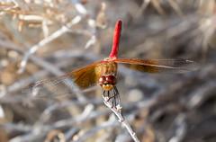 IMG_7354-Edit (ben.roberts999) Tags: insect nv reno stacked2shots usa wildlife dragonfly macro