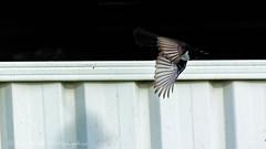 Fence Racer! (Beckett_1066) Tags: birdsinyard willie wagtail pee wee birds